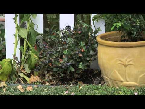 How to Plant Blueberries Near a Fence