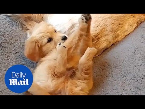 Adorable Golden Retriever puppy meets his new family - Daily Mail