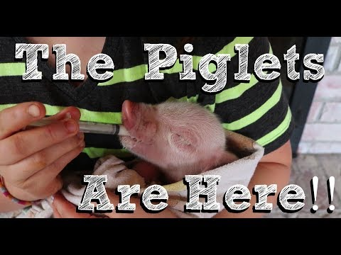 We have piglets! | Pig Farrowing