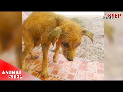 Stray Dog with Dry Skin and Infection Treated by Apply Turmeric Powder
