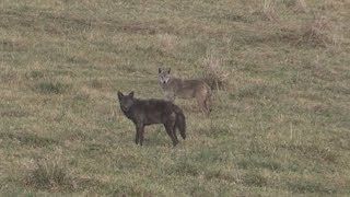 Download Black Coyote Double (Warning!!! Coyotes die in this clip) Video