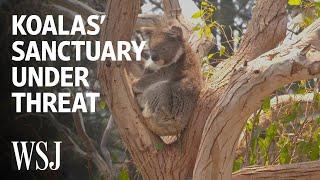 Koalas' Sanctuary Island Is Under Threat From Wildfires | WSJ