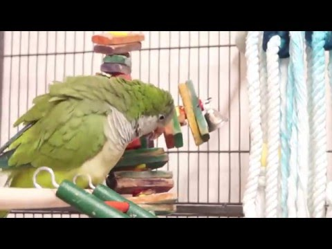 Quaker mating with the toy
