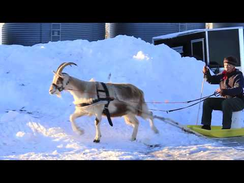The POWERFUL Goat - training a goat to pull