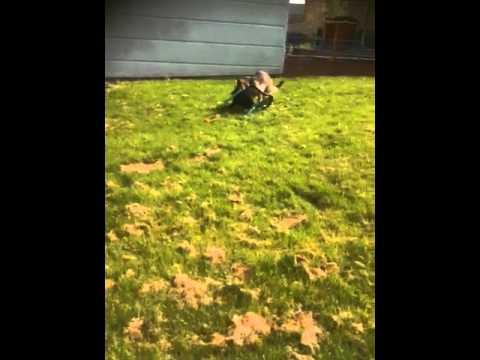 Dog chewing garden chair