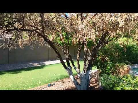 Citrus Tree Leaves dying Mesa AZ 480 969 8808 Warner's Tree Surgery 08 12 2017