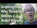 Growing Fruit - Why Thinning Creates a Better Harvest