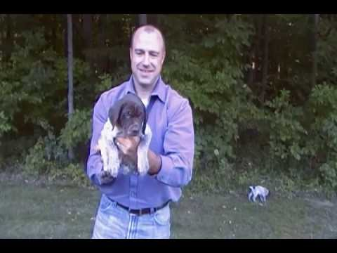 Aug 2013 Litter   puppy selection video