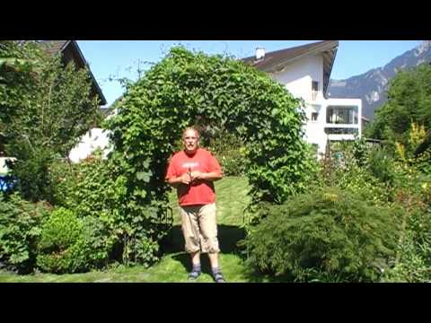 How to grow hops on an arch in your garden - part 1