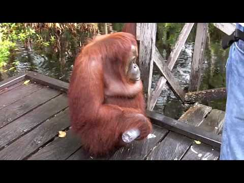 Xxx Mp4 Orangutan Has Coffee Break On Boat Pier 3gp Sex