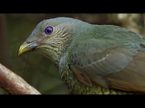 Bird Seduction Techniques | Life Story | BBC