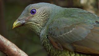 Bird Seduction Techniques   Life Story   BBC