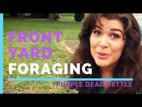 Front Yard Foraging for Purple Dead Nettle - PREPSTEADERS.com