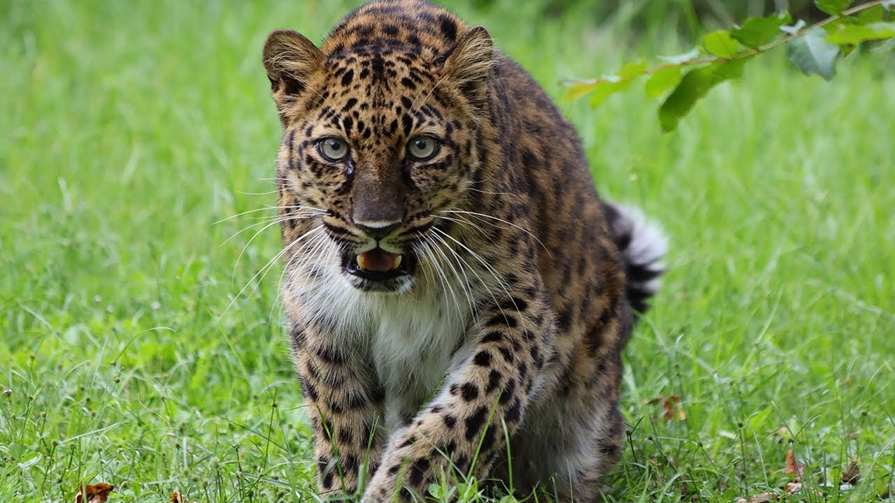 Rarest Big Cat On Earth In 360!