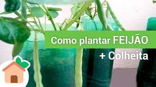 Como Plantar feijão + Colheita  |  How to Plant beans + Harvest