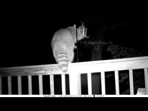 Raccoon vs electrified bird feeder