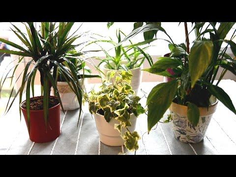 Rośliny oczyszczjące powietrze łatwe w uprawie / Air-cleaning houseplants easy to care for