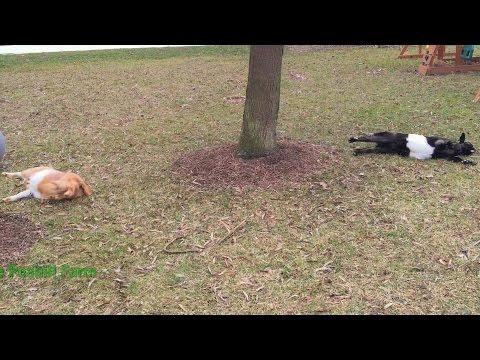 Fainting Goats vs Exercise Ball