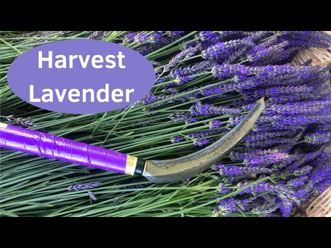 Growing Lavender - Quick Way to Harvest Lavender