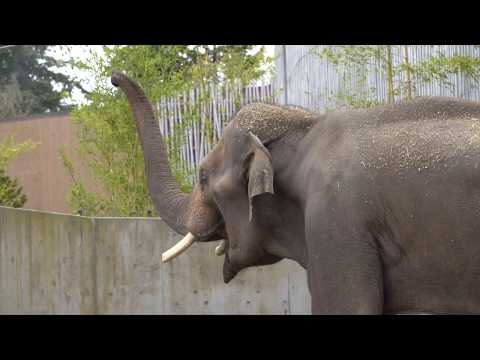 Asian elephant Samson arrives in Portland