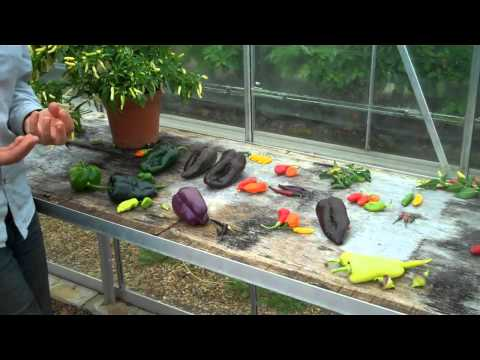Explaining colour change in peppers