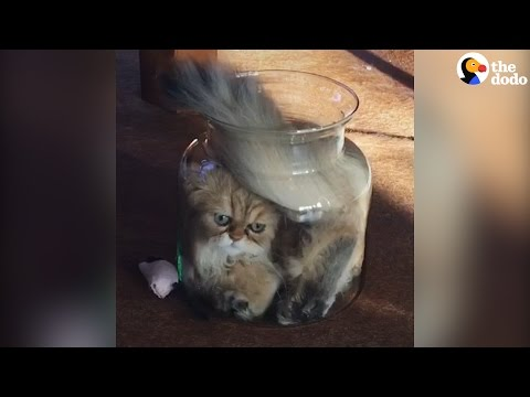 Cat Is SO Determined To Fit Into Glass Jar