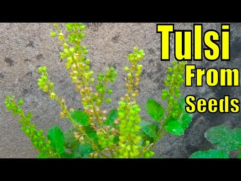 684# How to Collect and Grow Tulsi  Seeds | Result of 42 Days (Urdu/hindi)