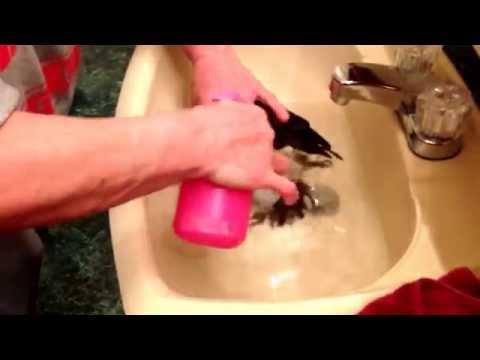 Ethel Timneh African Grey Parrot Getting a Bath