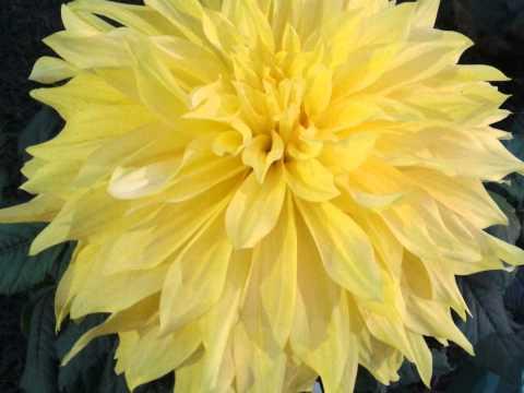Largest Dahlia flower in India