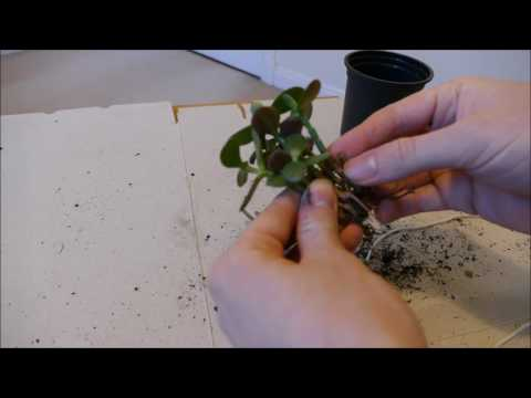 Fusing Multiple Jade Plant Cuttings Into One Trunk