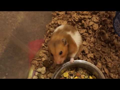 How to tell if your hamster is in kidney failure