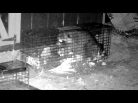 Raccoon Trap Caught On Trail Camera