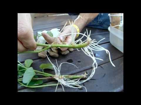 Sweet Potato Slips - Did They Grow?
