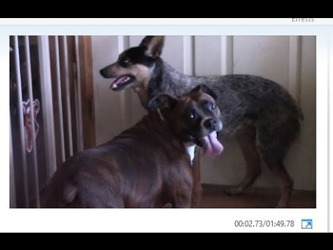 Boxer- Blue Heeler Play  Fight- Slow Motion