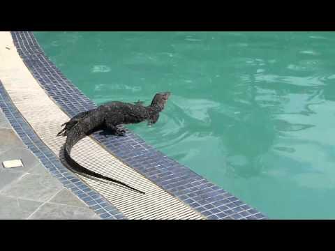 Perhentian Swimming pool monitor lizard HUGE!