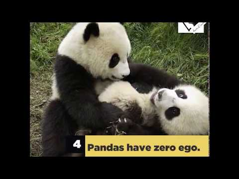 9 Reasons Why Pandas Are Cooler Than Humans