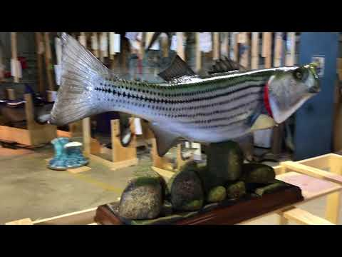 Striped Bass from Gray Taxidermy Fishmounts, Custom fish reproductions