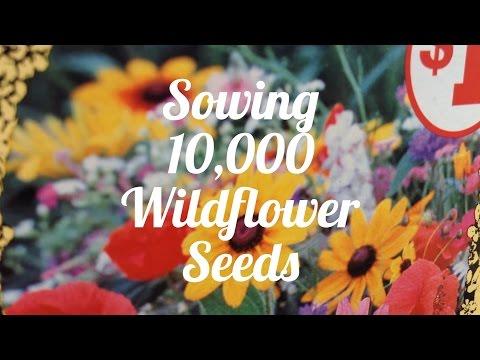 Sowing 10,000 Wildflower Seeds