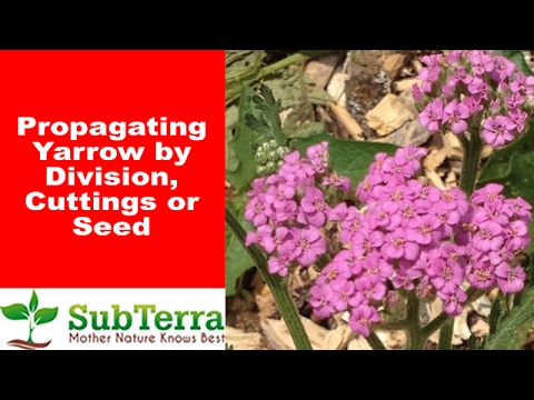 Propagating Yarrow (Achillea Millefolium) by Cutting and Division