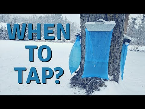 When is the Best Time to Tap Maple Trees?