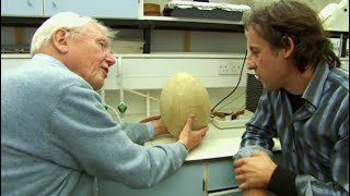 The Ancient Elephant Bird Egg - #AttenboroughWeek - Attenborough and the Giant Egg - BBC