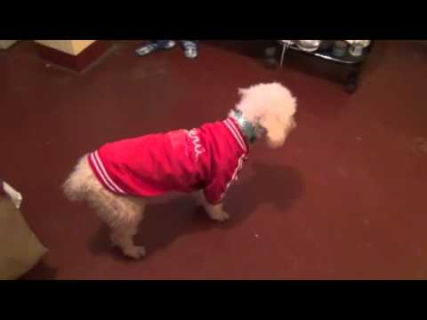 Poodle does not want to dance