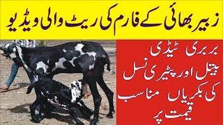teddy goats palna in pakistan Videos - 9tube tv