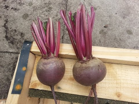 Beetroots harvest, processing, storing and successive planting