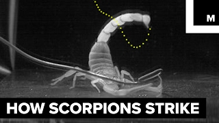 Download How scorpions sting Video