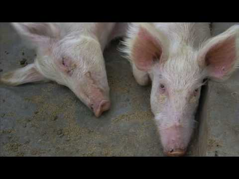 Shamba Shape Up Sn 07 - Ep 17 Pigs, Onions, Conservation Agriculture (English)