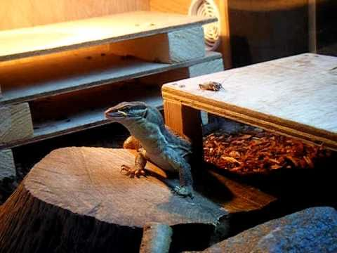 yellow ackie monitor eating a locust