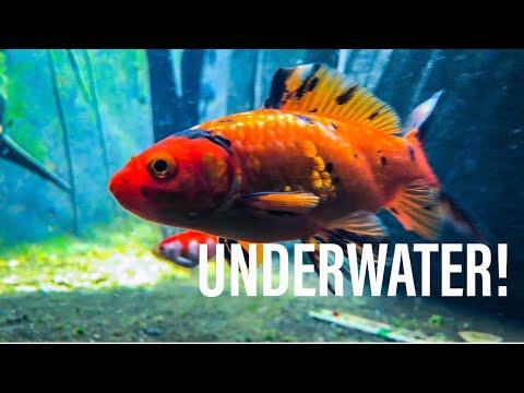 Underwater Goldfish Footage in Aquaponics System!