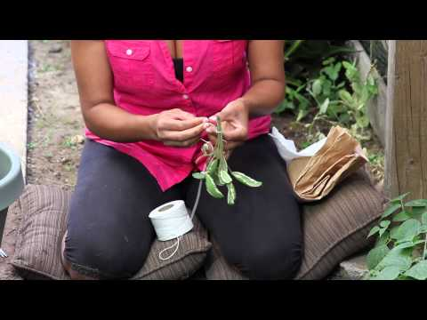 How to Dry Sage Leaves Yourself : The Chef's Garden