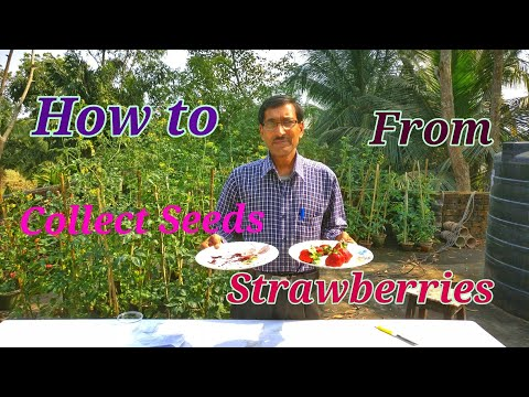 Where the Seeds of  STRAWBERRIES are found and how to collect them ?.